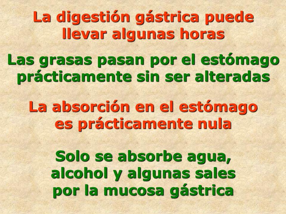 La absorción en el estómago es prácticamente nula Solo se absorbe agua, alcohol y algunas sales por la mucosa gástrica Las grasas pasan por el estómag