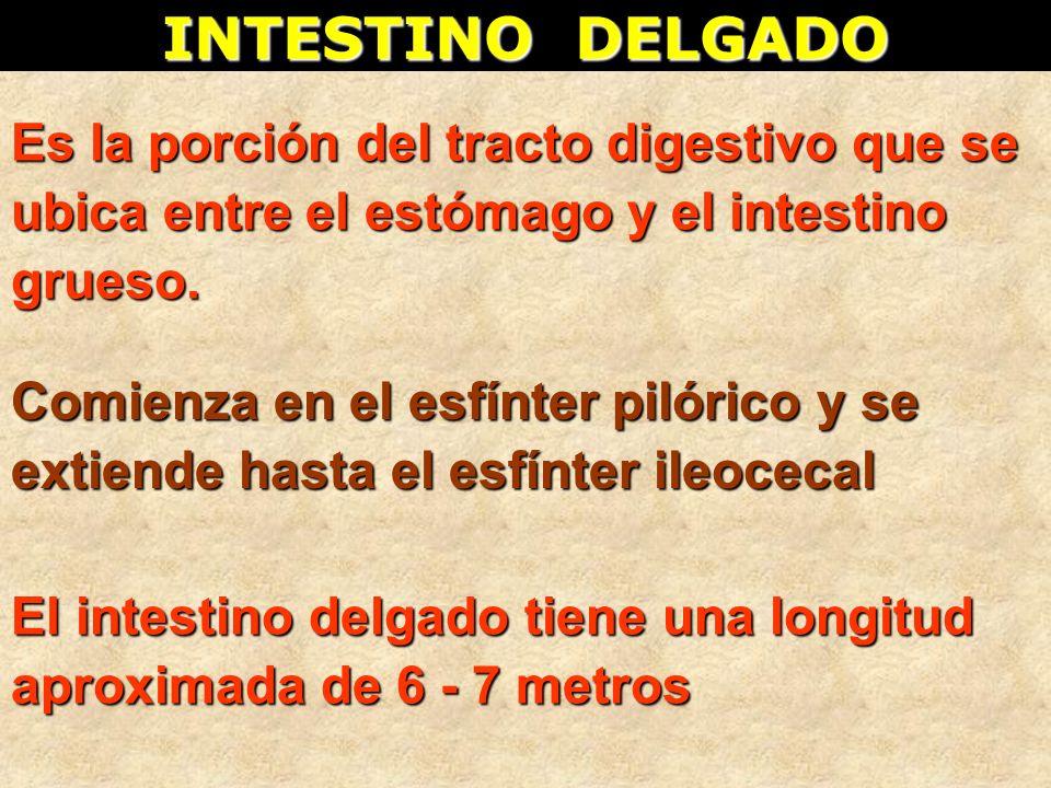 INTESTINO DELGADO Es la porción del tracto digestivo que se ubica entre el estómago y el intestino grueso. El intestino delgado tiene una longitud apr