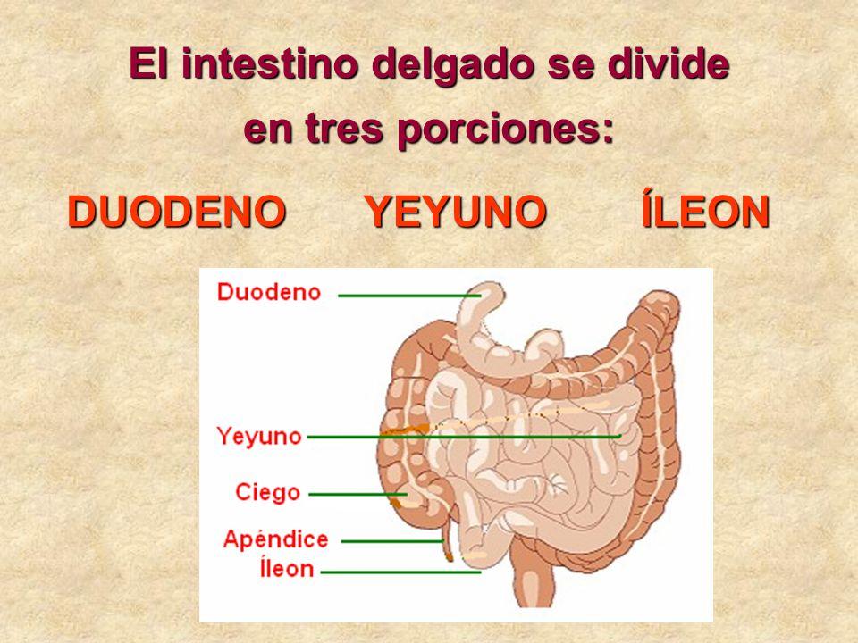 El intestino delgado se divide en tres porciones: DUODENOYEYUNOÍLEON