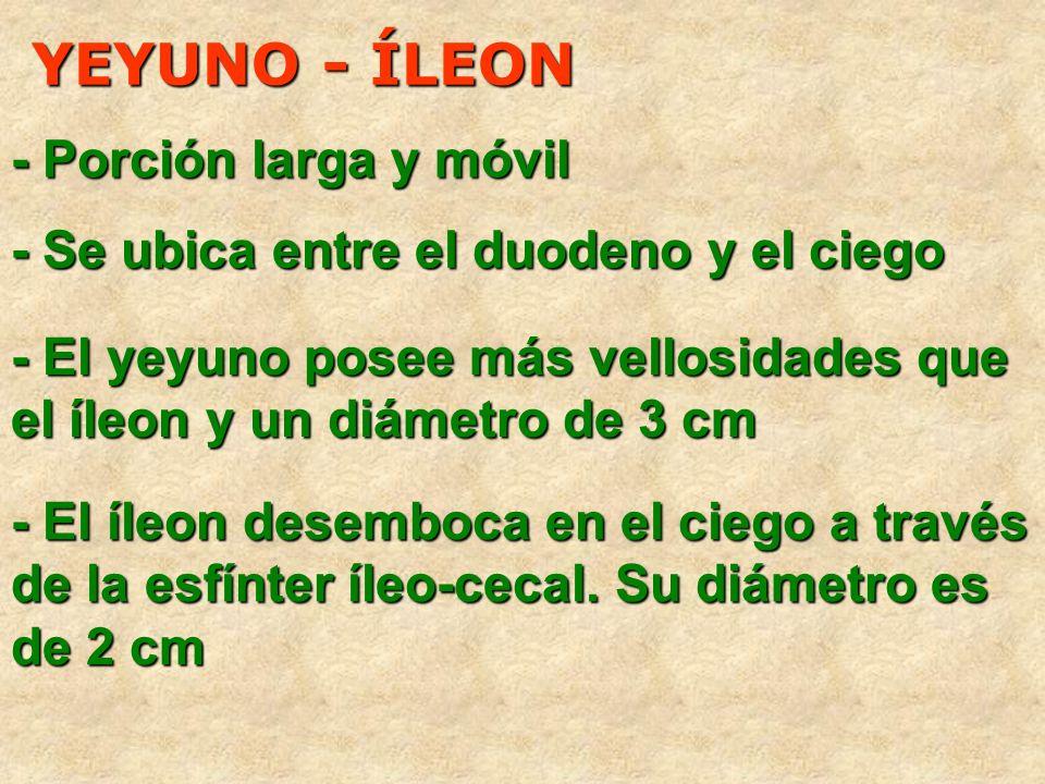 YEYUNO - ÍLEON - Se ubica entre el duodeno y el ciego - Porción larga y móvil - El yeyuno posee más vellosidades que el íleon y un diámetro de 3 cm -