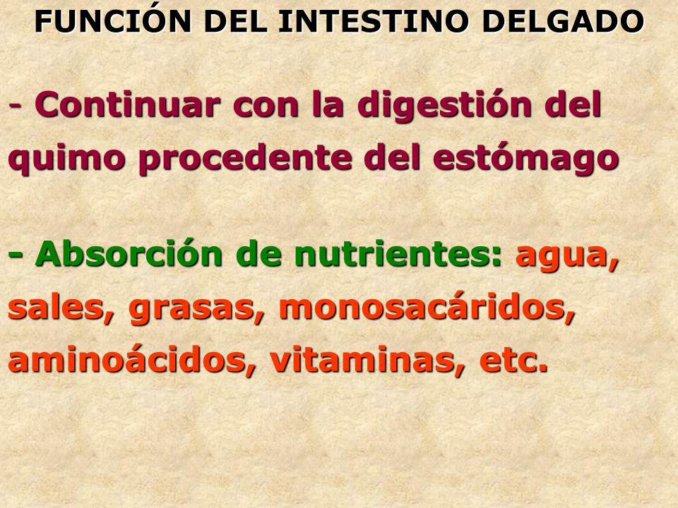 - Continuar con la digestión del quimo procedente del estómago FUNCIÓN DEL INTESTINO DELGADO - Absorción de nutrientes: agua, sales, grasas, monosacár