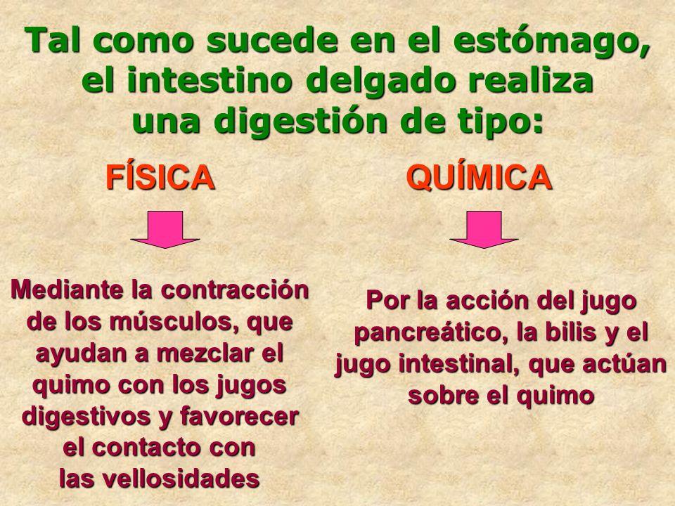 Tal como sucede en el estómago, el intestino delgado realiza una digestión de tipo: FÍSICAQUÍMICA Mediante la contracción de los músculos, que ayudan