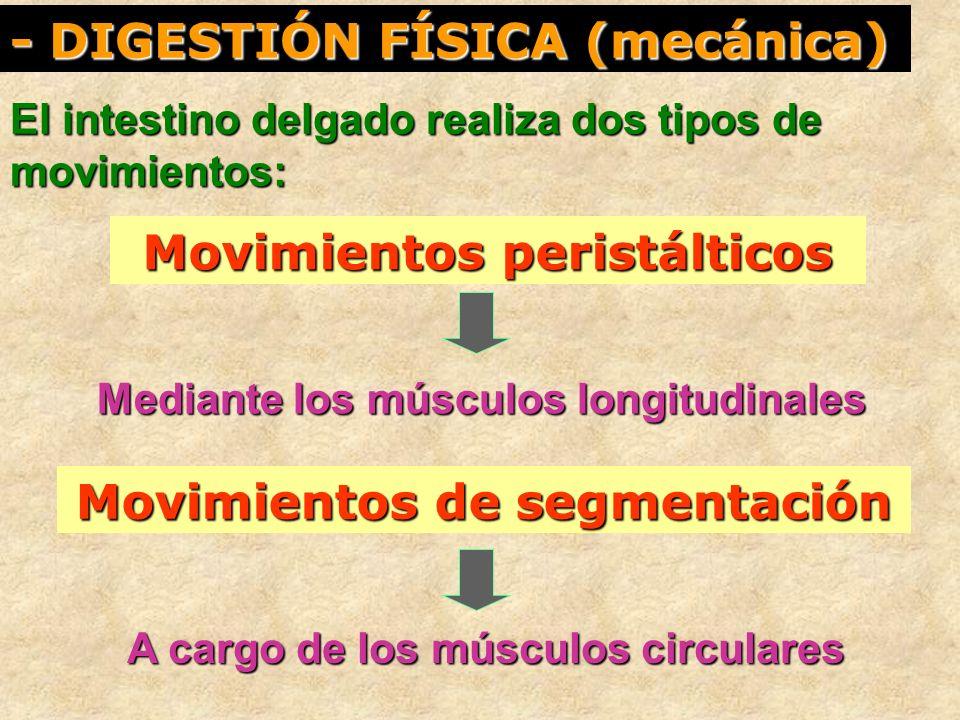 - DIGESTIÓN FÍSICA (mecánica) El intestino delgado realiza dos tipos de movimientos: Movimientos peristálticos Movimientos de segmentación A cargo de