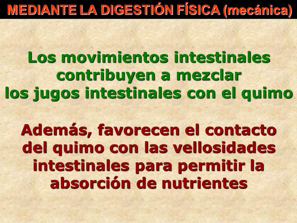 Los movimientos intestinales contribuyen a mezclar los jugos intestinales con el quimo MEDIANTE LA DIGESTIÓN FÍSICA (mecánica) MEDIANTE LA DIGESTIÓN F