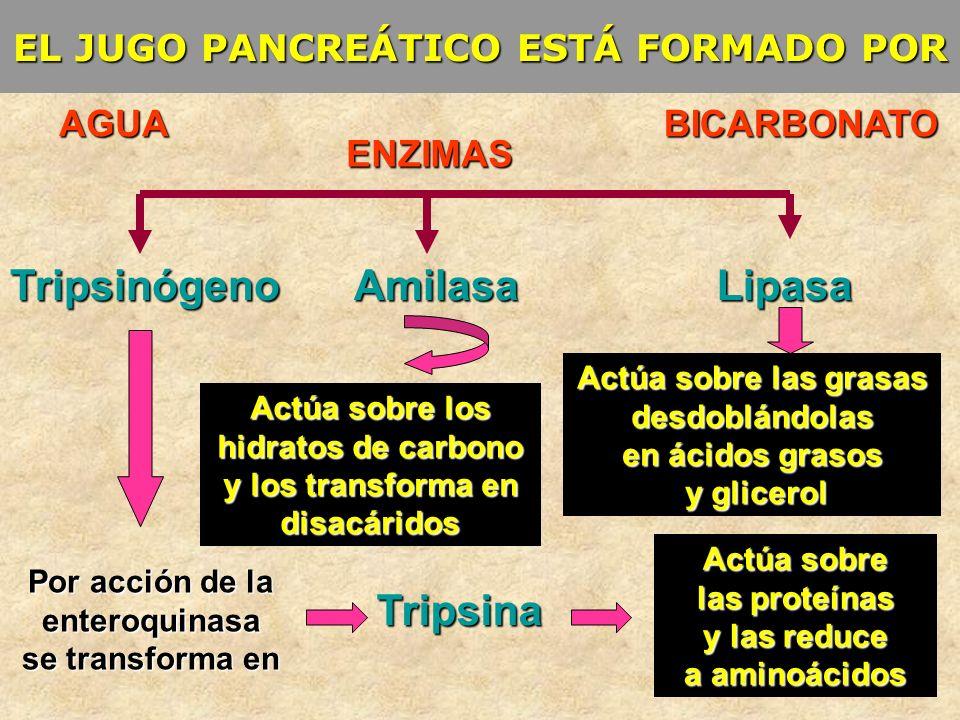 EL JUGO PANCREÁTICO ESTÁ FORMADO POR AGUA ENZIMAS BICARBONATO Tripsina AmilasaLipasaTripsinógeno Por acción de la enteroquinasa se transforma en Actúa