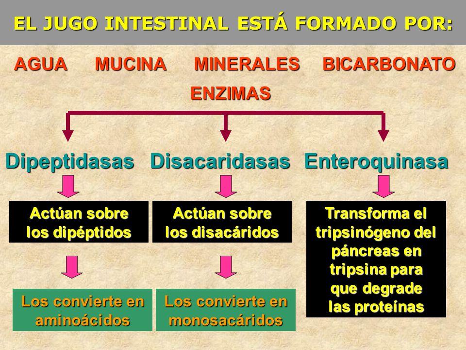 EL JUGO INTESTINAL ESTÁ FORMADO POR: AGUA ENZIMAS BICARBONATOMUCINAMINERALES DipeptidasasDisacaridasasEnteroquinasa Actúan sobre los disacáridos Actúa