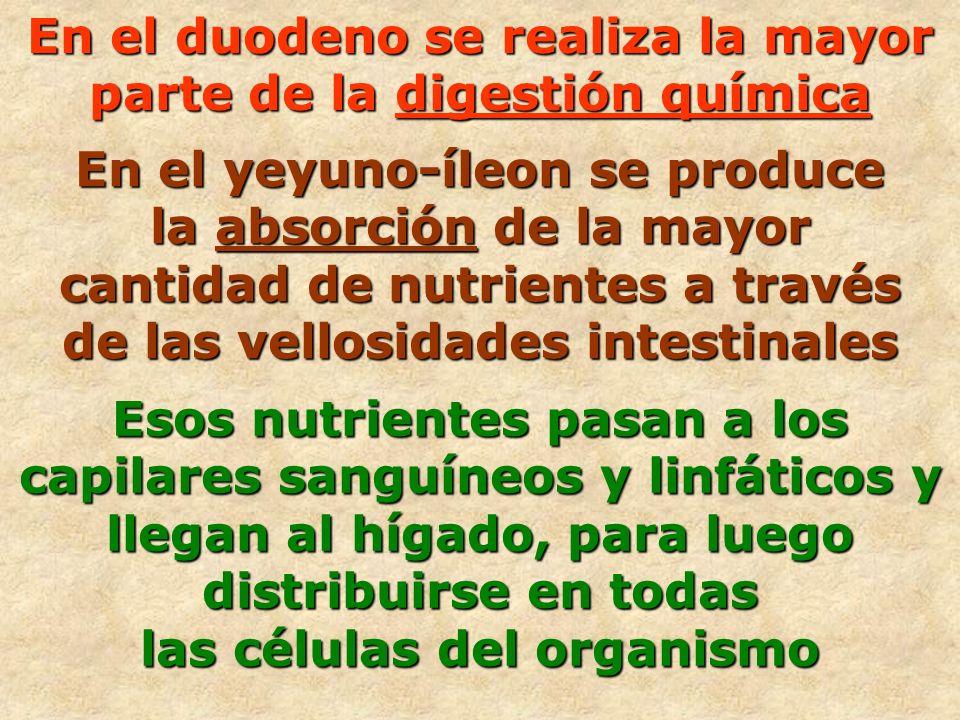 En el duodeno se realiza la mayor parte de la digestión química En el yeyuno-íleon se produce la absorción de la mayor cantidad de nutrientes a través