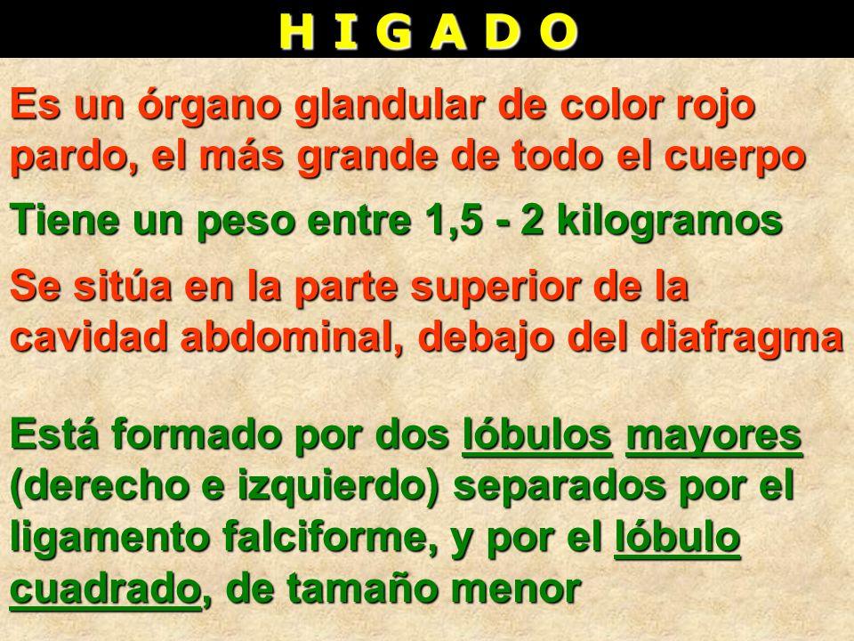 H I G A D O Es un órgano glandular de color rojo pardo, el más grande de todo el cuerpo Tiene un peso entre 1,5 - 2 kilogramos Está formado por dos ló