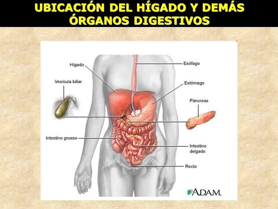 UBICACIÓN DEL HÍGADO Y DEMÁS ÓRGANOS DIGESTIVOS