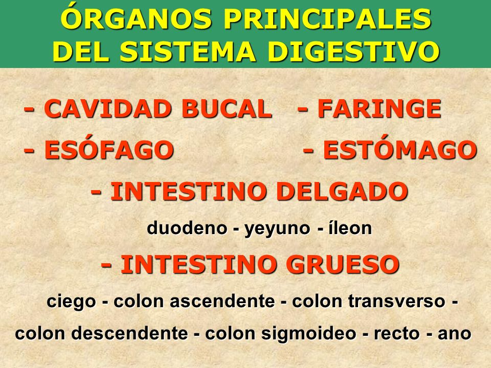 ÓRGANOS PRINCIPALES DEL SISTEMA DIGESTIVO - CAVIDAD BUCAL - FARINGE - ESÓFAGO - ESTÓMAGO - INTESTINO DELGADO duodeno - yeyuno - íleon - INTESTINO GRUE