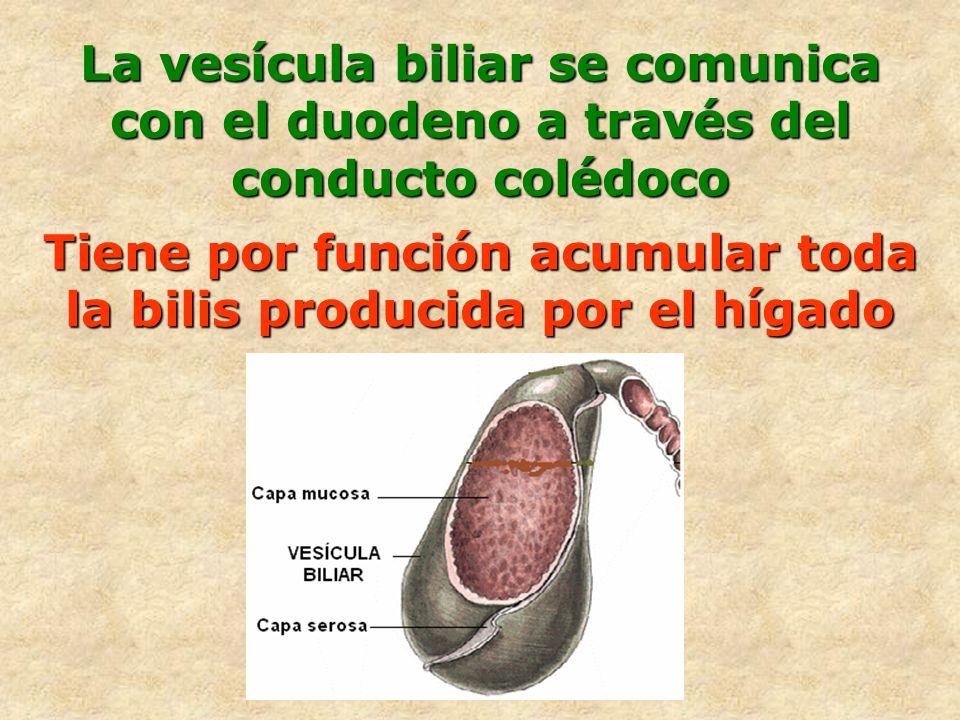Tiene por función acumular toda la bilis producida por el hígado La vesícula biliar se comunica con el duodeno a través del conducto colédoco