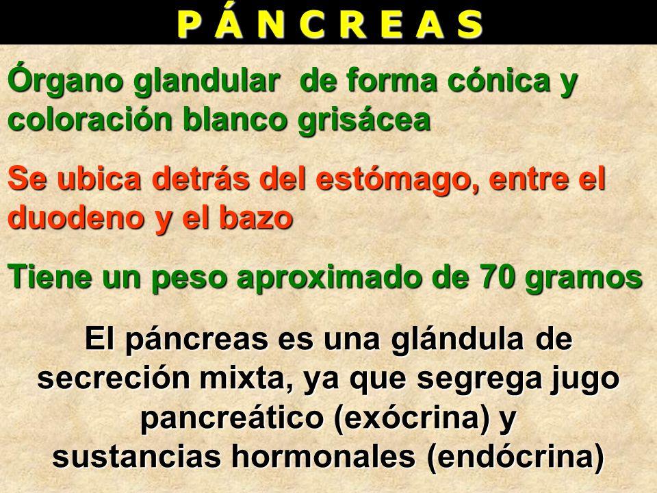 P Á N C R E A S Órgano glandular de forma cónica y coloración blanco grisácea Se ubica detrás del estómago, entre el duodeno y el bazo Tiene un peso a