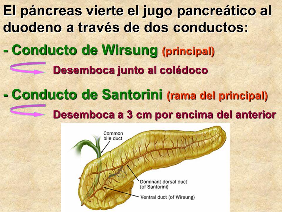 El páncreas vierte el jugo pancreático al duodeno a través de dos conductos: - Conducto de Wirsung (principal) - Conducto de Santorini (rama del princ