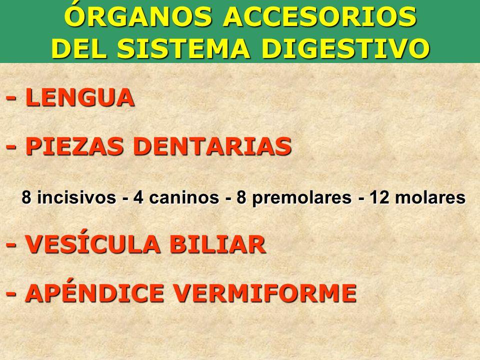ÓRGANOS ACCESORIOS DEL SISTEMA DIGESTIVO - LENGUA - PIEZAS DENTARIAS 8 incisivos - 4 caninos - 8 premolares - 12 molares - VESÍCULA BILIAR 8 incisivos