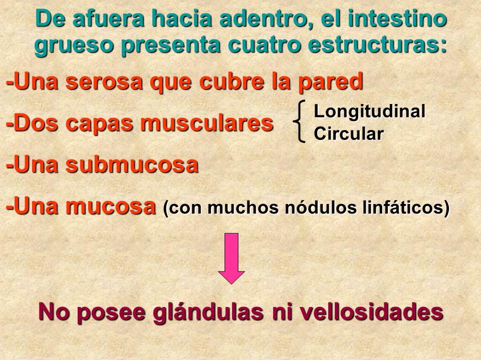 De afuera hacia adentro, el intestino grueso presenta cuatro estructuras: -Una serosa que cubre la pared -Dos capas musculares LongitudinalCircular -U