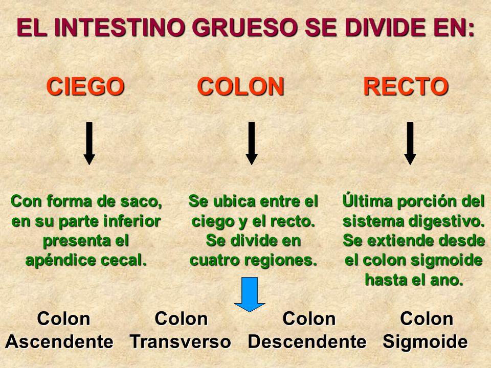 EL INTESTINO GRUESO SE DIVIDE EN: CIEGOCOLONRECTO Con forma de saco, en su parte inferior presenta el apéndice cecal. Se ubica entre el ciego y el rec