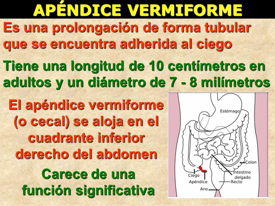 APÉNDICE VERMIFORME Es una prolongación de forma tubular que se encuentra adherida al ciego Tiene una longitud de 10 centímetros en adultos y un diáme