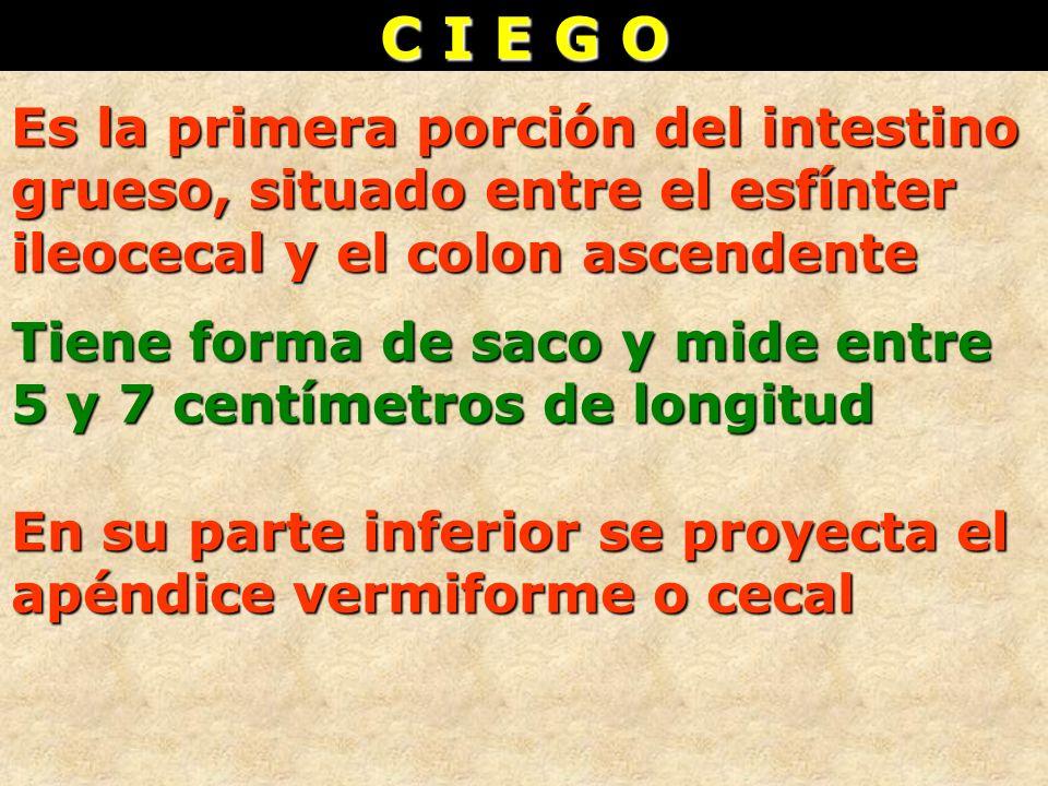 C I E G O Es la primera porción del intestino grueso, situado entre el esfínter ileocecal y el colon ascendente Tiene forma de saco y mide entre 5 y 7