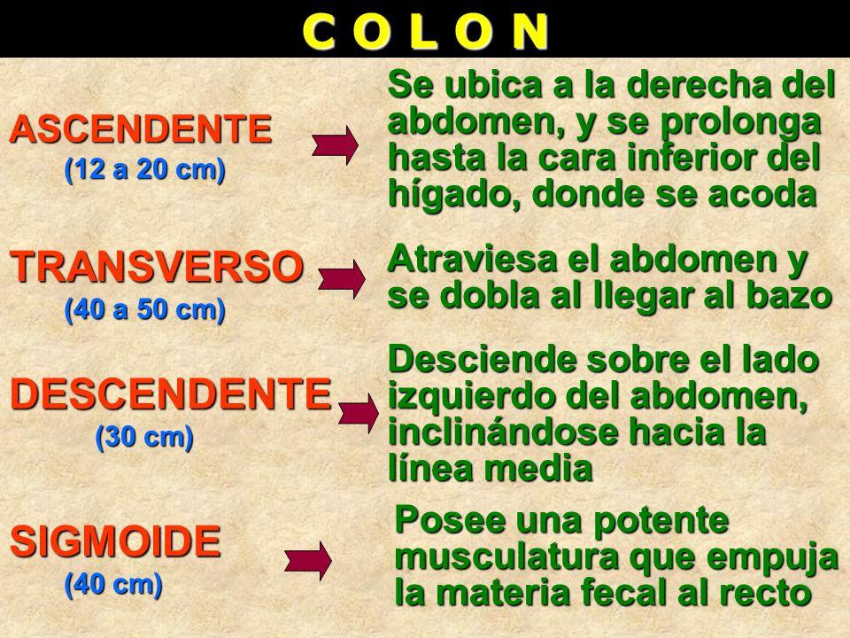 C O L O N ASCENDENTE (12 a 20 cm) (12 a 20 cm) DESCENDENTE (30 cm) (30 cm) TRANSVERSO (40 a 50 cm) (40 a 50 cm) SIGMOIDE (40 cm) (40 cm) Se ubica a la