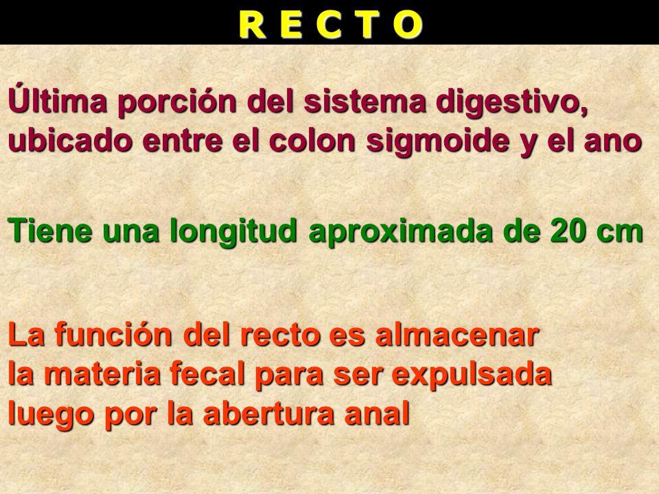 R E C T O Última porción del sistema digestivo, ubicado entre el colon sigmoide y el ano Tiene una longitud aproximada de 20 cm La función del recto e