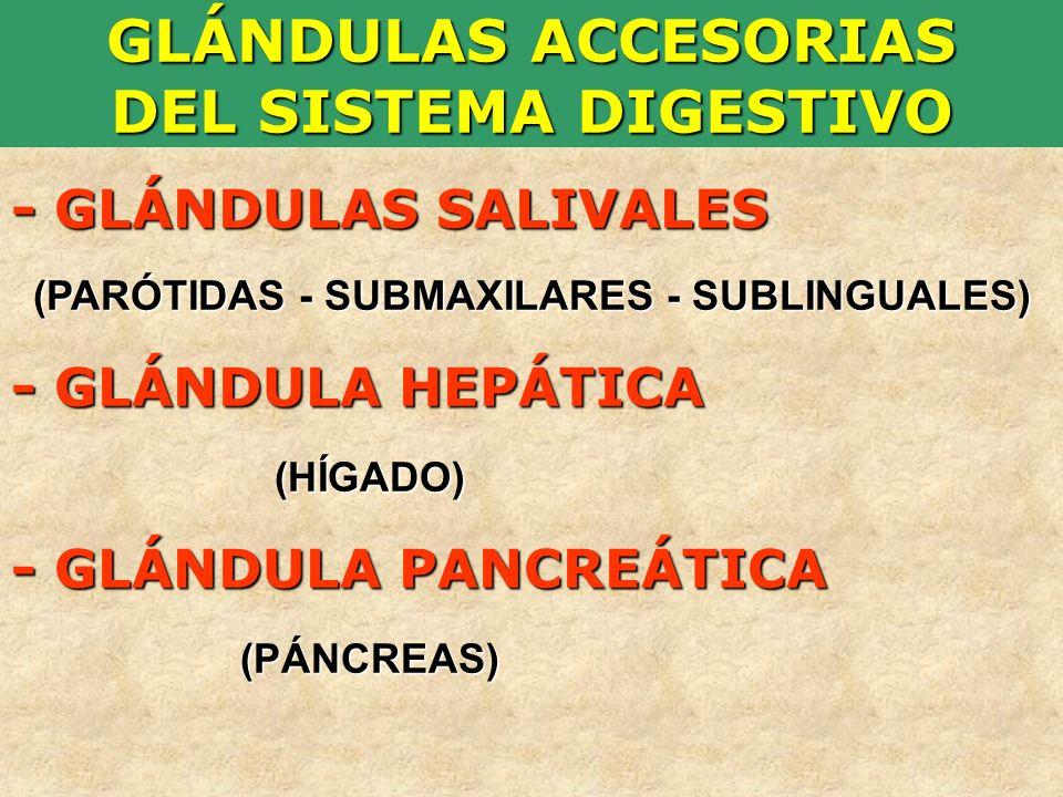 GLÁNDULAS ACCESORIAS DEL SISTEMA DIGESTIVO - GLÁNDULAS SALIVALES (PARÓTIDAS - SUBMAXILARES - SUBLINGUALES) - GLÁNDULA HEPÁTICA (HÍGADO) (HÍGADO) - GLÁ