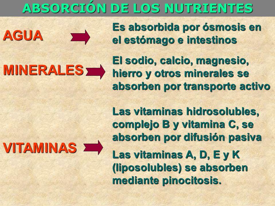ABSORCIÓN DE LOS NUTRIENTES AGUA MINERALES VITAMINAS Es absorbida por ósmosis en el estómago e intestinos El sodio, calcio, magnesio, hierro y otros m
