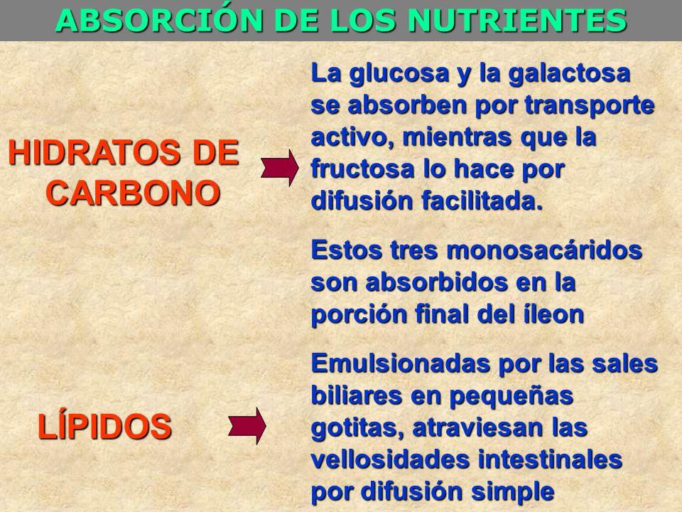 HIDRATOS DE CARBONO CARBONO LÍPIDOS ABSORCIÓN DE LOS NUTRIENTES La glucosa y la galactosa se absorben por transporte activo, mientras que la fructosa