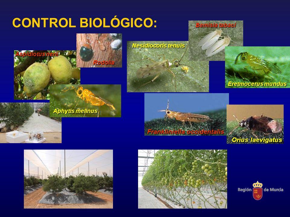 CONTROL BIOLÓGICO: Bemisia tabaci Eretmocerus mundus Nesidiocoris tenuis Frankliniella occidentalis Orius laevigatus Aspidiotus nerii Aphytis melinus