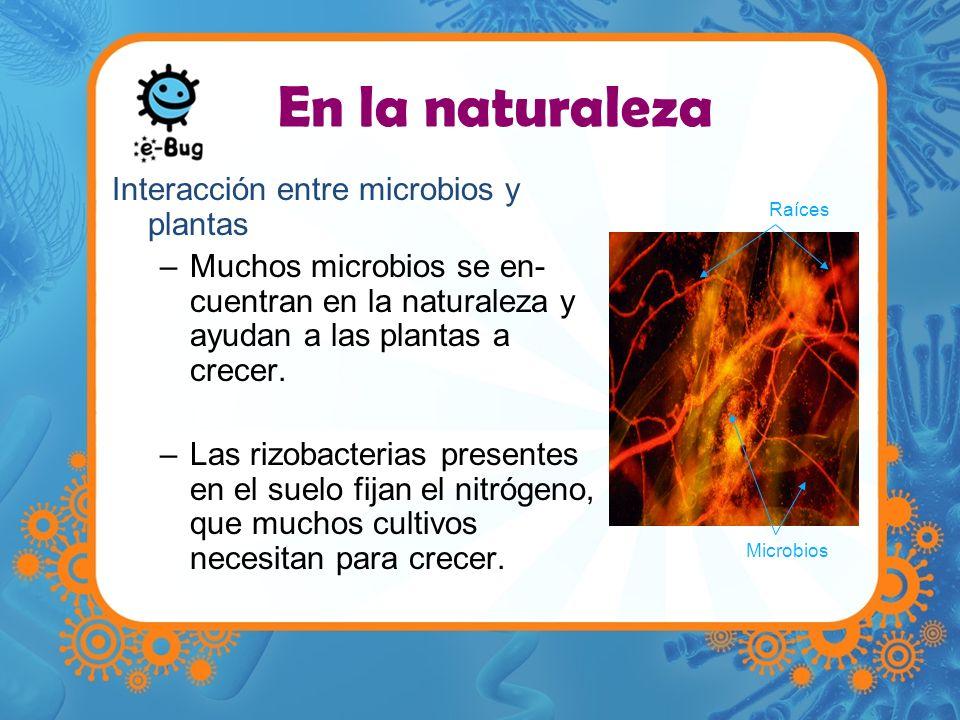 En la naturaleza Interacción entre microbios y plantas –Muchos microbios se en- cuentran en la naturaleza y ayudan a las plantas a crecer. –Las rizoba