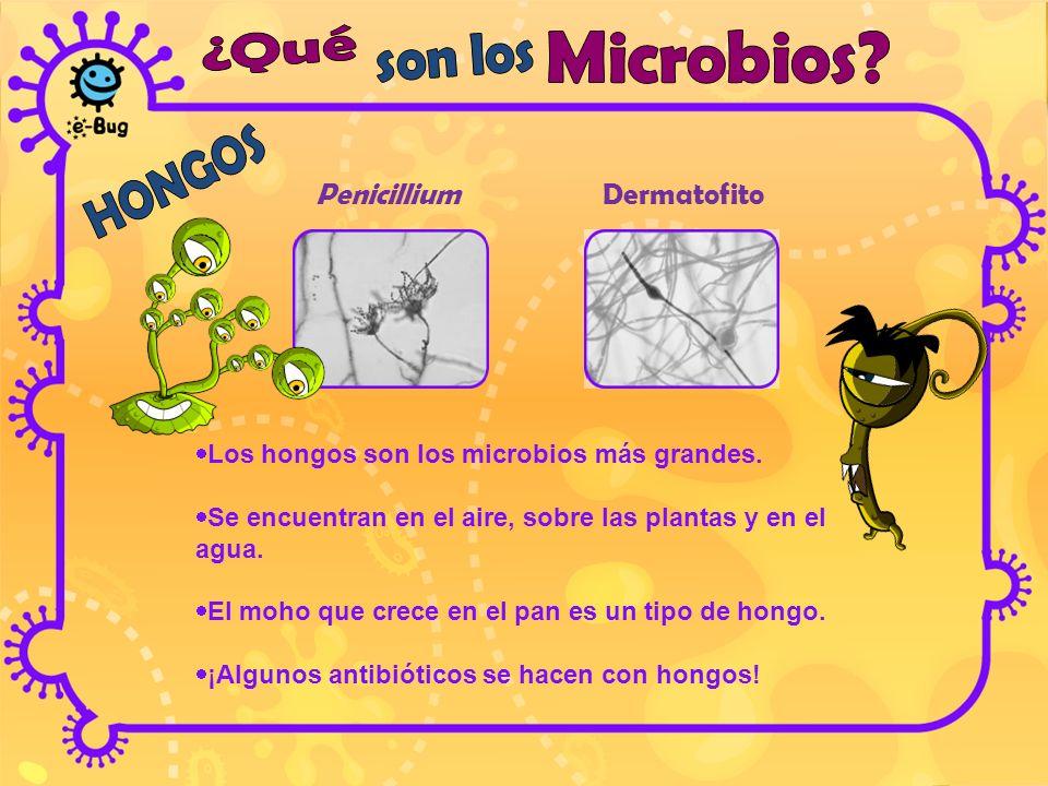 Penicillium Dermatofito Los hongos son los microbios más grandes. Se encuentran en el aire, sobre las plantas y en el agua. El moho que crece en el pa