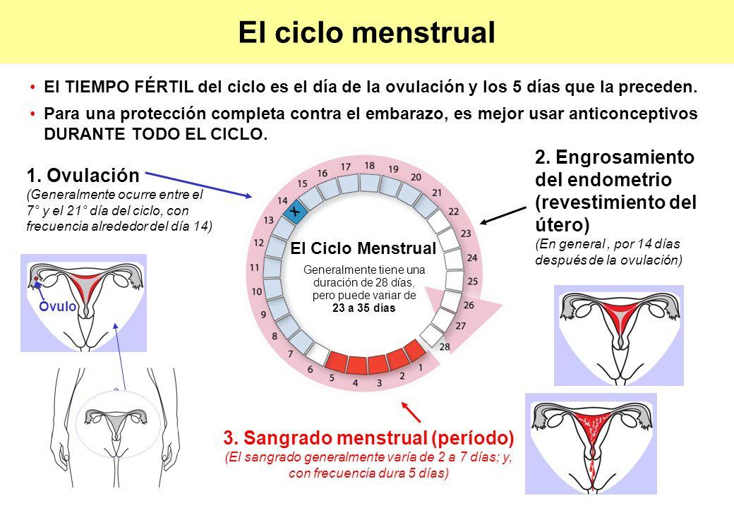 1. Ovulación (Generalmente ocurre entre el 7° y el 21° día del ciclo, con frecuencia alrededor del día 14) 2. Engrosamiento del endometrio (revestimie