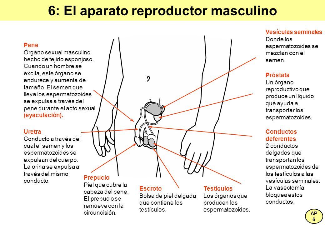 6: El aparato reproductor masculino Vesículas seminales Donde los espermatozoides se mezclan con el semen. Prepucio Piel que cubre la cabeza del pene.