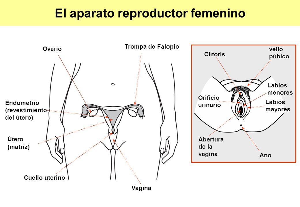 El aparato reproductor femenino Trompa de Falopio Clítoris Ovario Endometrio (revestimiento del útero) Útero (matriz) Cuello uterino Vagina Labios men