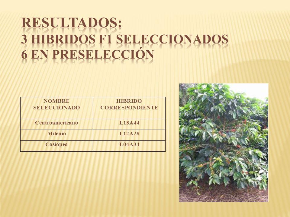 NOMBRE SELECCIONADO HIBRIDO CORRESPONDIENTE CentroamericanoL13A44 MilenioL12A28 CasiopeaL04A34