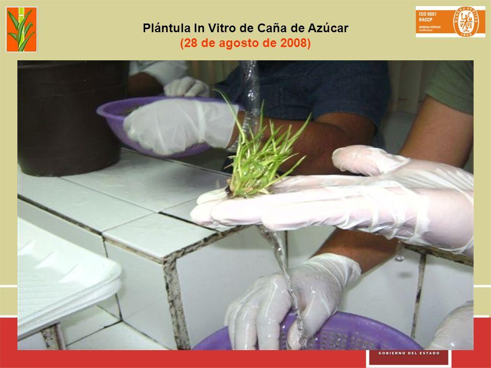 Plántula In Vitro de Caña de Azúcar (28 de agosto de 2008)
