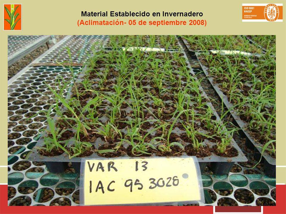 Material Establecido en Invernadero (Aclimatación- 05 de septiembre 2008)