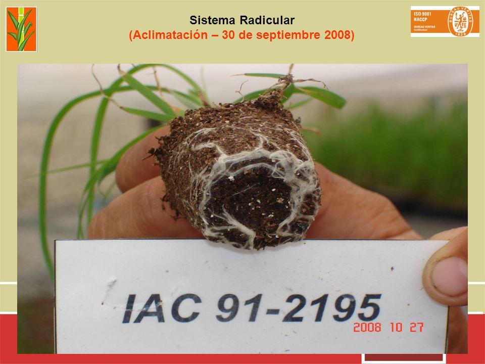 Sistema Radicular (Aclimatación – 30 de septiembre 2008)