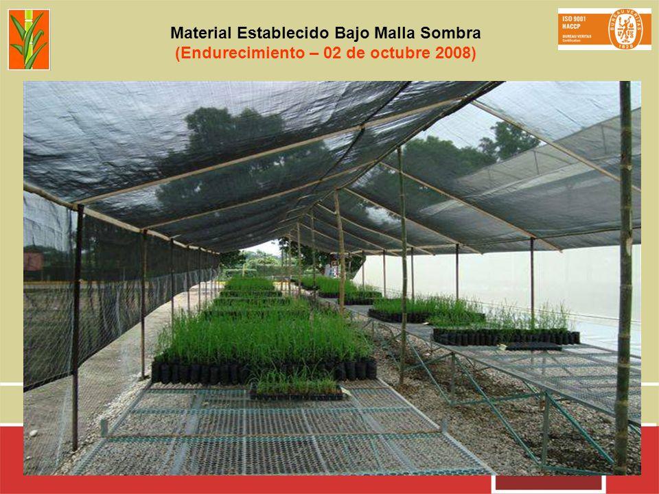 Material Establecido Bajo Malla Sombra (Endurecimiento – 02 de octubre 2008)