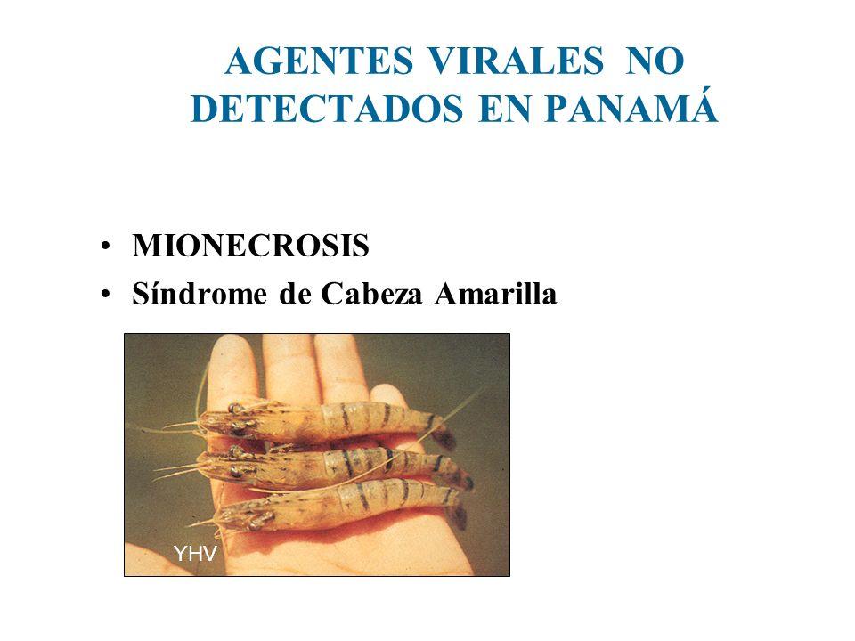 AGENTES VIRALES NO DETECTADOS EN PANAMÁ MIONECROSIS Síndrome de Cabeza Amarilla YHV