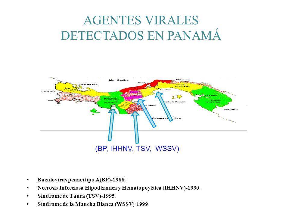 Baculovirus penaei tipo A(BP)-1988. Necrosis Infecciosa Hipodérmica y Hematopoyética (IHHNV)-1990. Síndrome de Taura (TSV)-1995. Síndrome de la Mancha