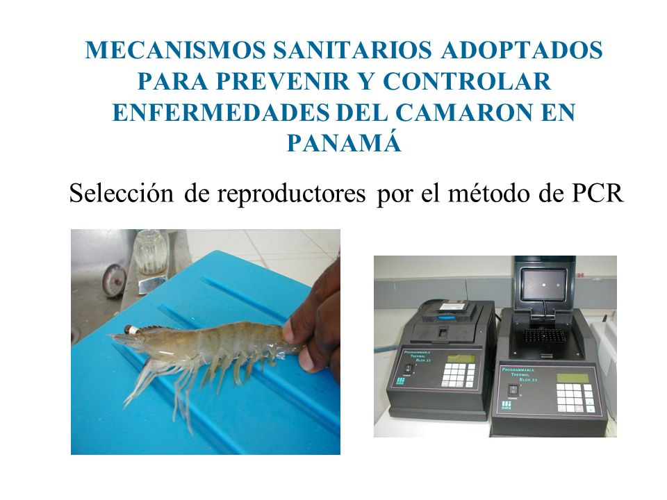 MECANISMOS SANITARIOS ADOPTADOS PARA PREVENIR Y CONTROLAR ENFERMEDADES DEL CAMARON EN PANAMÁ Selección de reproductores por el método de PCR