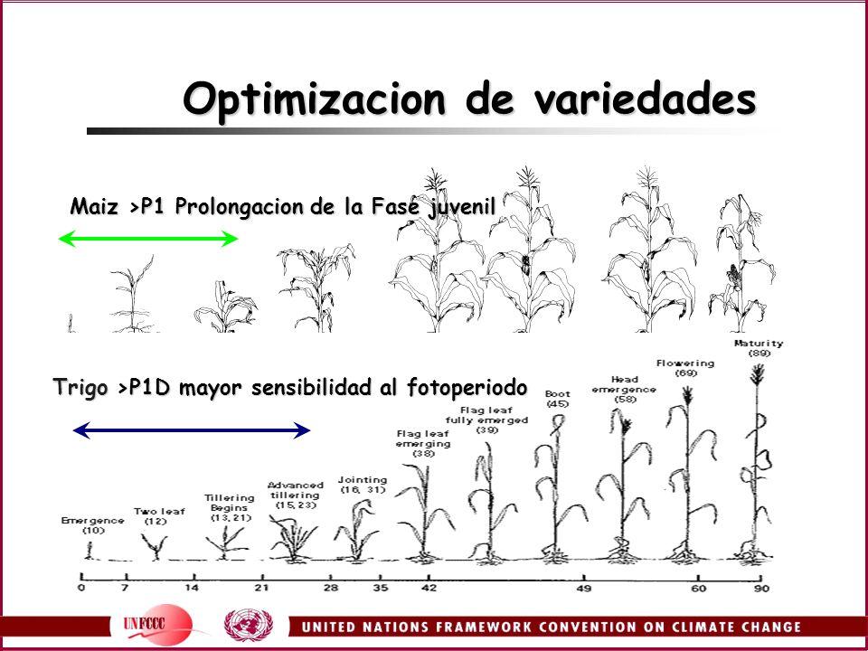 Optimizacion de variedades Maiz >P1 Prolongacion de la Fase juvenil Trigo >P1D mayor sensibilidad al fotoperiodo