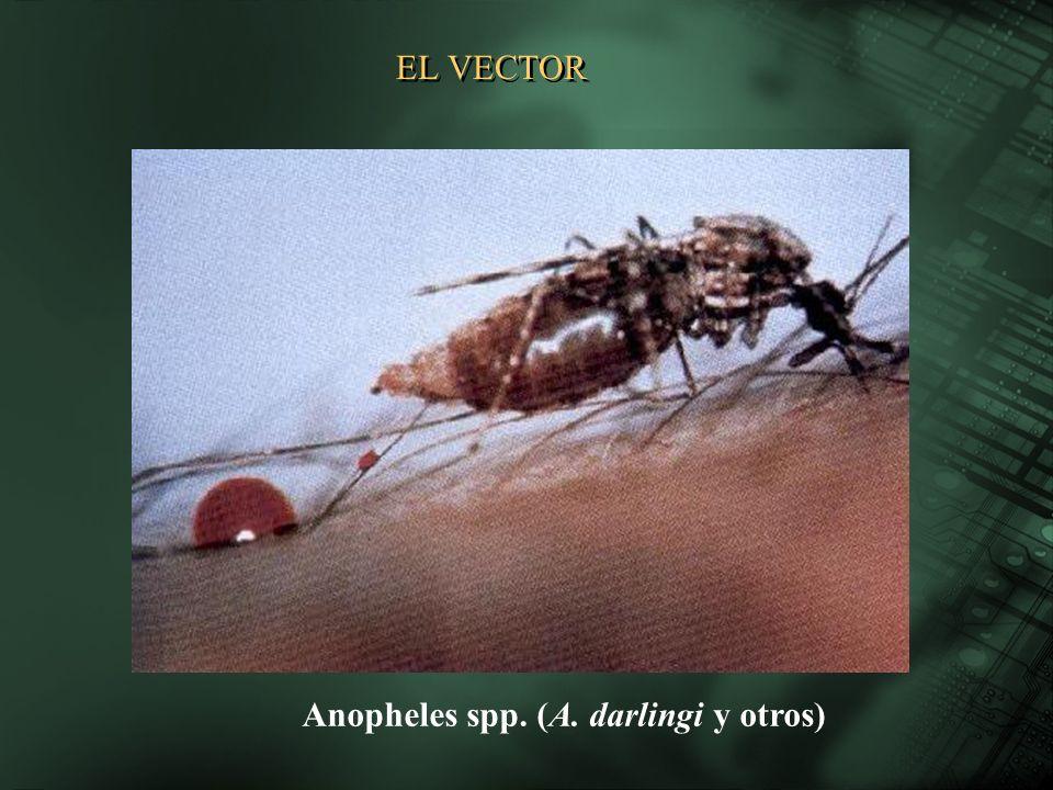 Anopheles spp. (A. darlingi y otros) EL VECTOR