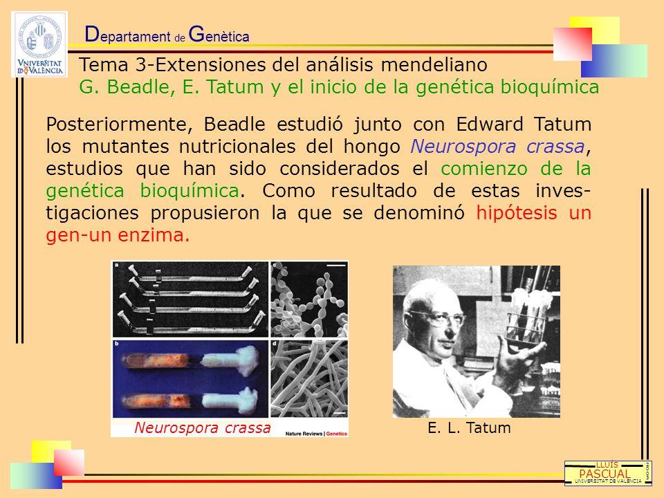 D epartament de G enètica LLUÍS PASCUAL UNIVERSITAT DE VALÈNCIA 20032003 E. L. Tatum Posteriormente, Beadle estudió junto con Edward Tatum los mutante