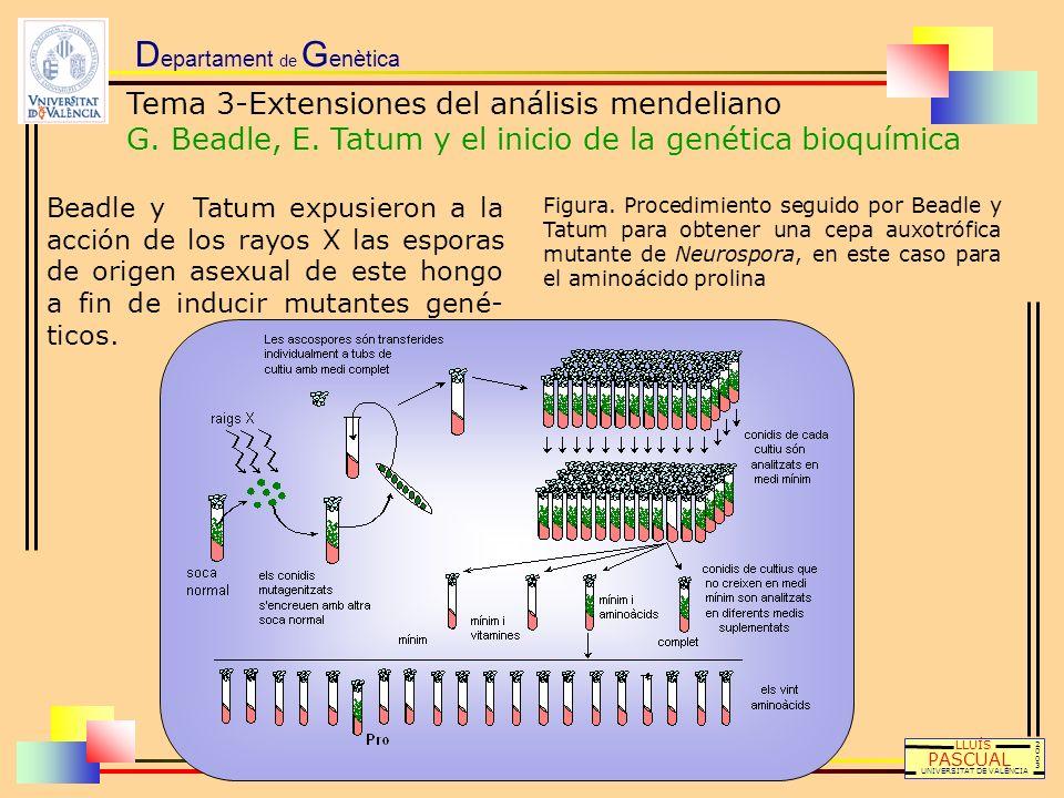 D epartament de G enètica LLUÍS PASCUAL UNIVERSITAT DE VALÈNCIA 20032003 Beadle y Tatum expusieron a la acción de los rayos X las esporas de origen as