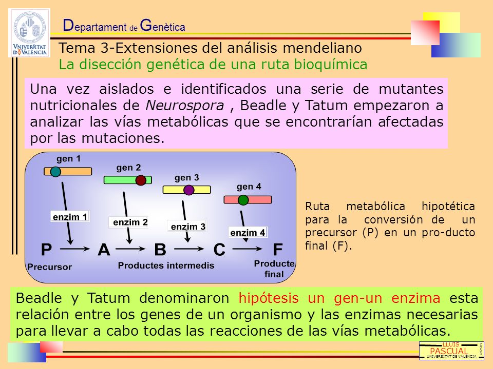 D epartament de G enètica Tema 3-Extensiones del análisis mendeliano La disección genética de una ruta bioquímica LLUÍS PASCUAL UNIVERSITAT DE VALÈNCI