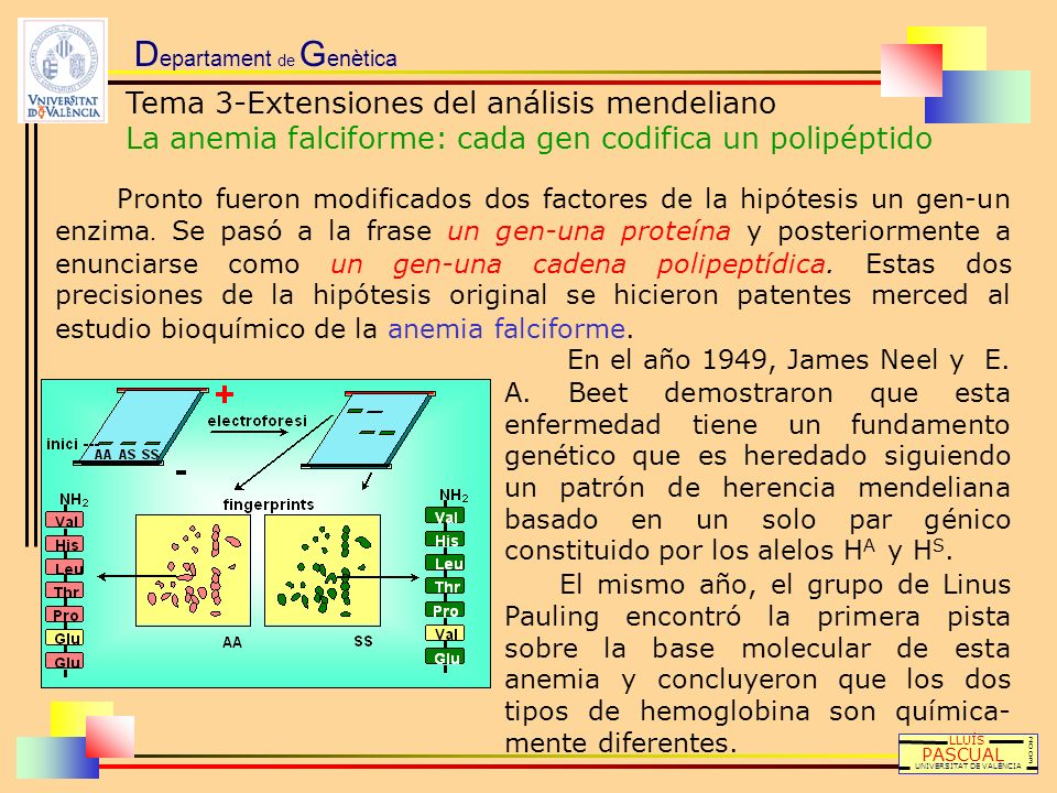 D epartament de G enètica Tema 3-Extensiones del análisis mendeliano La anemia falciforme: cada gen codifica un polipéptido LLUÍS PASCUAL UNIVERSITAT