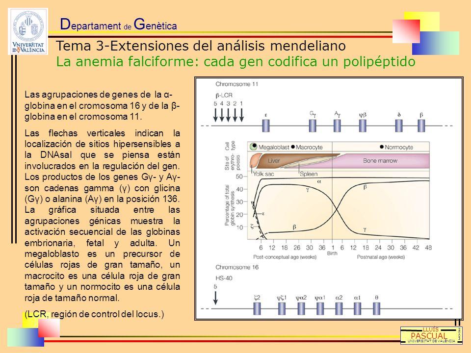 D epartament de G enètica LLUÍS PASCUAL UNIVERSITAT DE VALÈNCIA 20032003 Las agrupaciones de genes de la α- globina en el cromosoma 16 y de la β- glob