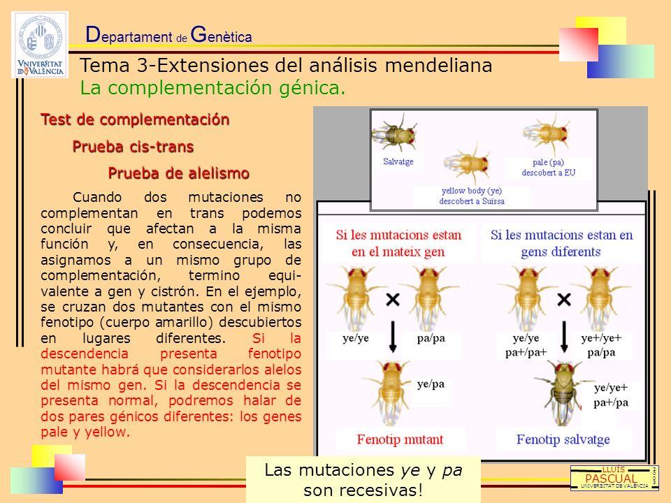 D epartament de G enètica LLUÍS PASCUAL UNIVERSITAT DE VALÈNCIA 20032003 Test de complementación Prueba cis-trans Prueba de alelismo Cuando dos mutaci