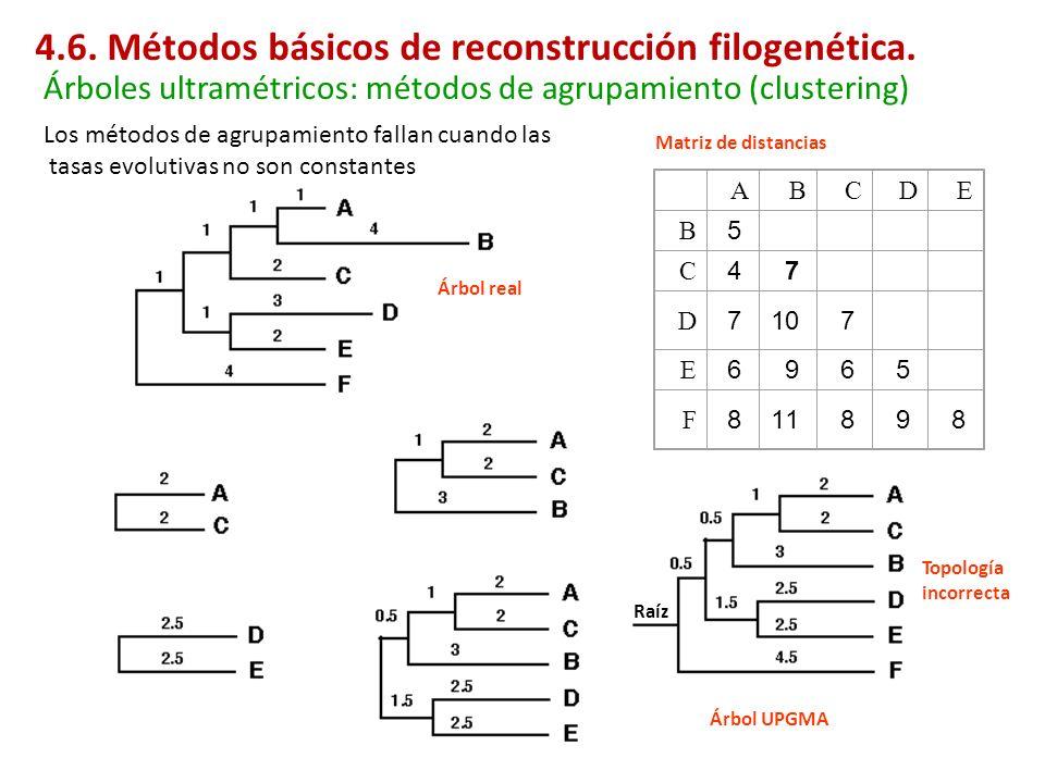 A B C D E B 5 C 4 7 D 7 10 7 E 6 9 6 5 F 8 11 8 9 8 Los métodos de agrupamiento fallan cuando las tasas evolutivas no son constantes Topología incorre